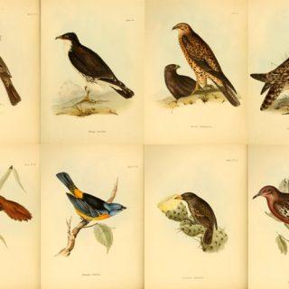 fringuelli di Darwin